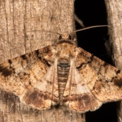 Cryphaea xylina (Woodland Geometrid) at Melba, ACT - 12 Oct 2020 by kasiaaus