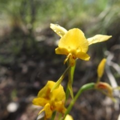 Diuris nigromontana (Black mountain leopard orchid) at Black Mountain - 17 Oct 2020 by Liam.m