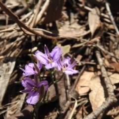 Thysanotus patersonii (Twining fringe lily) at Black Mountain - 18 Oct 2020 by Liam.m