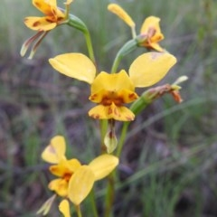 Diuris nigromontana (Black mountain leopard orchid) at Black Mountain - 18 Oct 2020 by Liam.m