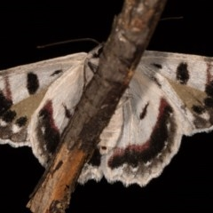 Crypsiphona ocultaria (Red-lined Looper Moth) at Melba, ACT - 12 Oct 2020 by kasiaaus