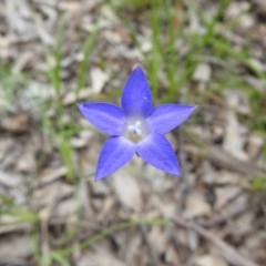 Wahlenbergia capillaris (Tufted Bluebell) at Black Mountain - 18 Oct 2020 by Liam.m