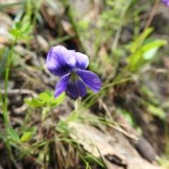 Viola betonicifolia (Purple Violet) at Wanniassa Hill - 18 Oct 2020 by Liam.m