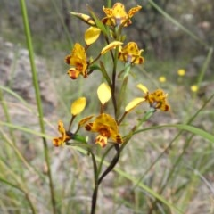 Diuris semilunulata (Late leopard orchid) at Wanniassa Hill - 18 Oct 2020 by Liam.m