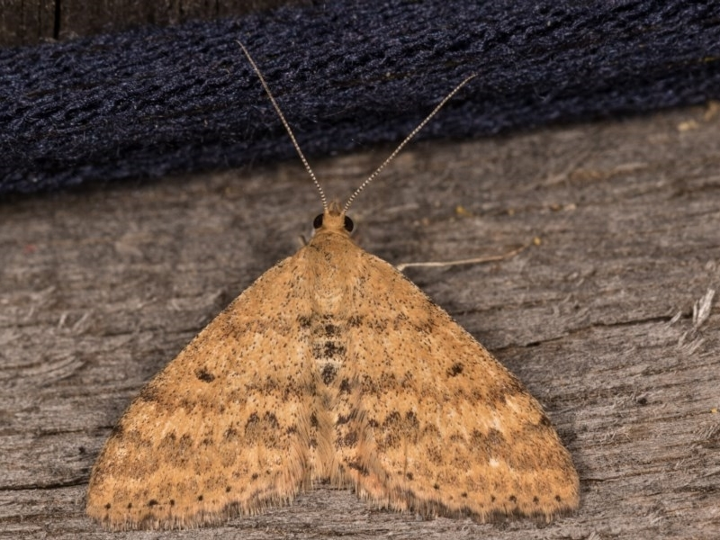 Scopula rubraria at Melba, ACT - 12 Oct 2020