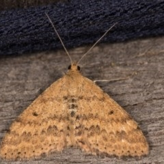 Scopula rubraria (Reddish Wave) at Melba, ACT - 12 Oct 2020 by kasiaaus