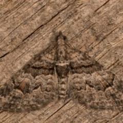 Phrissogonus laticostata (Apple looper moth) at Melba, ACT - 12 Oct 2020 by kasiaaus