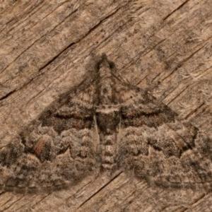 Phrissogonus laticostata at Melba, ACT - 12 Oct 2020