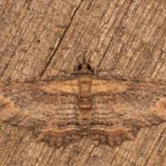 Chloroclystis filata (Filata Moth, Australian Pug Moth) at Melba, ACT - 12 Oct 2020 by kasiaaus