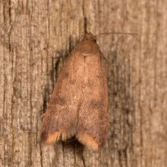 Tachystola acroxantha (A Concealer moth) at Melba, ACT - 12 Oct 2020 by kasiaaus
