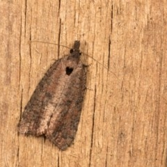 Rupicolana orthias (A tortrix or leafroller moth) at Melba, ACT - 12 Oct 2020 by kasiaaus