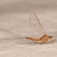 Ephemeroptera sp. (order) (Unidentified Mayfly) at Melba, ACT - 12 Oct 2020 by kasiaaus
