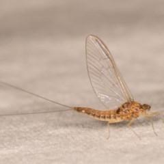Ephemeroptera sp. (order) (Unidentified Mayfly) at Melba, ACT - 12 Oct 2020 by kasiaaus