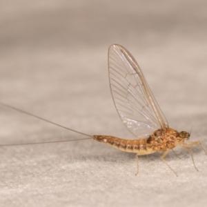 Ephemeroptera sp. (order) at Melba, ACT - 12 Oct 2020