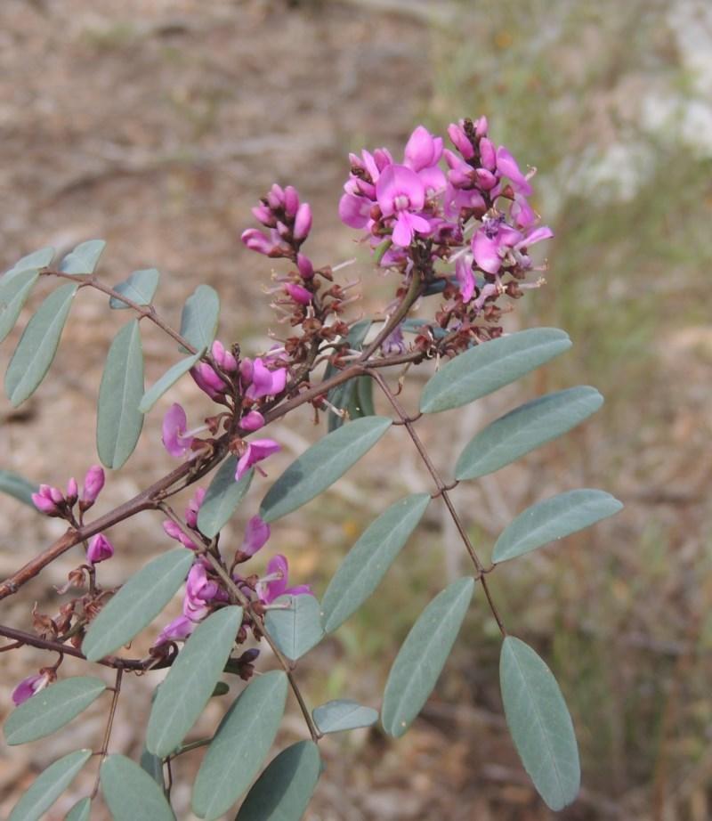 Indigofera australis subsp. australis at Gungaderra Grasslands - 5 Oct 2020