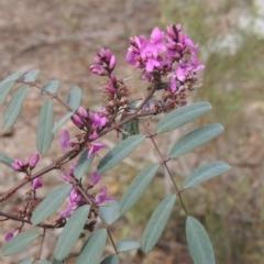 Indigofera australis subsp. australis (Australian Indigo) at Gungaderra Grasslands - 5 Oct 2020 by michaelb