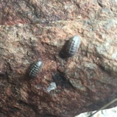 Armadillidium vulgare (Slater bug, woodlouse, pill bug, roley poley) at Hughes Garran Woodland - 17 Oct 2020 by Tapirlord