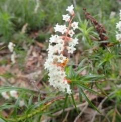 Stackhousia monogyna (TBC) at Tura Beach, NSW - 30 Sep 2020 by LizAllen