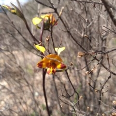 Diuris semilunulata (Late leopard orchid) at Namadgi National Park - 18 Oct 2020 by Greggy