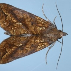 Plusiodonta arctipennis (TBC) at Lilli Pilli, NSW - 6 Oct 2020 by jbromilow50