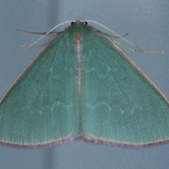 Chlorocoma undescribed species MoVsp3 (TBC) at Lilli Pilli, NSW - 6 Oct 2020 by jbromilow50