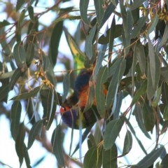 Trichoglossus moluccanus (Rainbow Lorikeet) at Willow Park - 18 Oct 2020 by Kyliegw