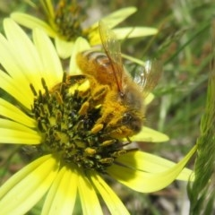 Apis mellifera (European honey bee) at Mount Mugga Mugga - 14 Oct 2020 by Christine