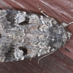 Thorocolopha flexirena (Proteuxoa flexirena) at Lilli Pilli, NSW - 6 Oct 2020 by jbromilow50