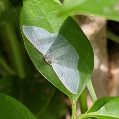 Poecilasthena thalassias (Sea-blue Delicate) at Red Light Hill Reserve - 18 Oct 2020 by ChrisAllen