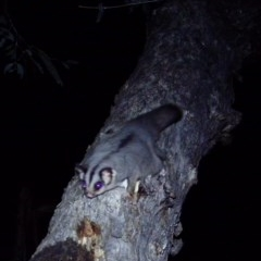 Petaurus breviceps (Sugar Glider) at Tuggeranong Hill - 16 Oct 2020 by ChrisHolder