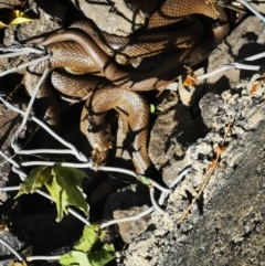 Pseudonaja textilis (Eastern Brown Snake) at Queanbeyan, NSW - 18 Oct 2020 by MeganAlyce