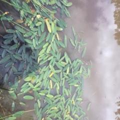 Ottelia ovalifolia subsp. ovalifolia (Swamp Lily) at Mount Ainslie - 18 Oct 2020 by WalterEgo