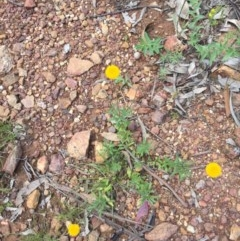 Leptorhynchos squamatus subsp. squamatus at Mount Ainslie - 18 Oct 2020 by WalterEgo