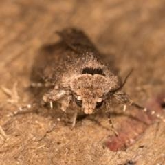 Proteuxoa provisional species 5 at Melba, ACT - 12 Oct 2020