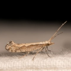 Plutella xylostella (Diamondback Moth) at Melba, ACT - 12 Oct 2020 by kasiaaus