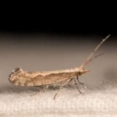 Plutella xylostella (Diamondback Moth) at Melba, ACT - 12 Oct 2020 by kasiaaus