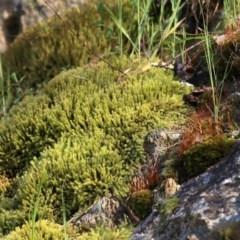Unidentified Moss, Lichen, Liverwort, etc (TBC) at Wodonga - 18 Oct 2020 by Kyliegw