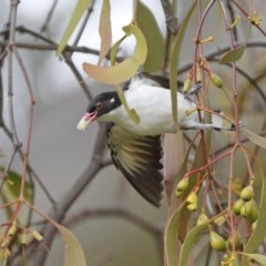 Grantiella picta (Painted Honeyeater) at Mount Ainslie - 18 Oct 2020 by ConBoekel