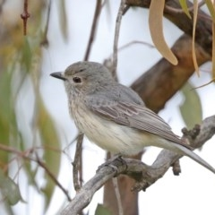 Pachycephala rufiventris (Rufous Whistler) at Mount Ainslie - 18 Oct 2020 by ConBoekel