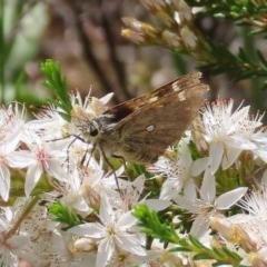 Trapezites luteus (Yellow Ochre, Rare White-spot Skipper) at Tuggeranong Hill - 19 Oct 2020 by Owen