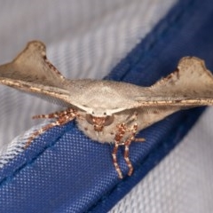 Circopetes obtusata (Grey Twisted Moth) at Nowra Hill, NSW - 18 Oct 2020 by rawshorty