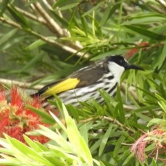 Phylidonyris niger (White-cheeked Honeyeater) at Berry, NSW - 19 Oct 2020 by Andrejs