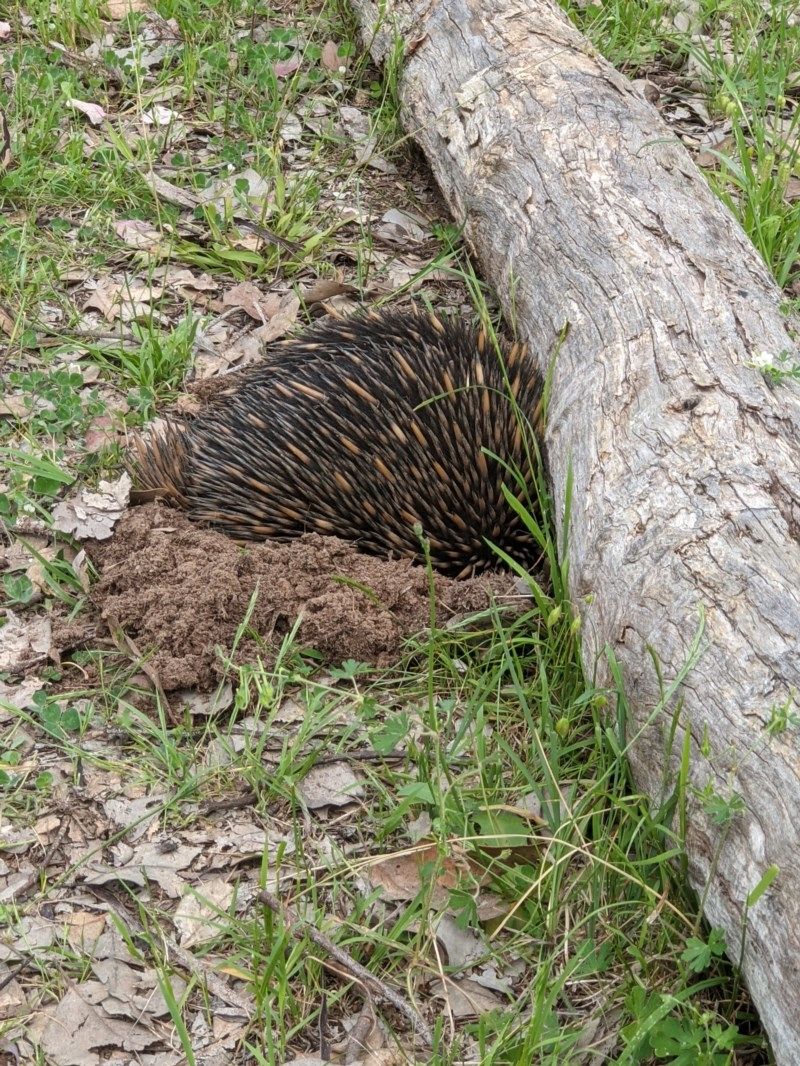 Tachyglossus aculeatus at Red Light Hill Reserve - 19 Oct 2020