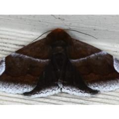 Dysgonia propyrrha (An Erebid moth) at Lilli Pilli, NSW - 4 Oct 2020 by jbromilow50