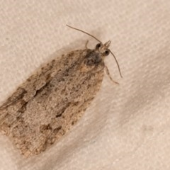 Acropolitis rudisana (A leafroller moth) at Melba, ACT - 12 Oct 2020 by kasiaaus