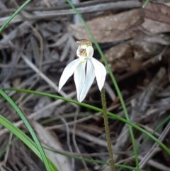 Caladenia carnea (Pink fingers) at Tidbinbilla Nature Reserve - 4 Oct 2020 by RobynHall