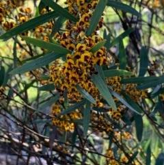 Daviesia mimosoides (Bitter Pea) at Flea Bog Flat, Bruce - 17 Oct 2020 by JVR