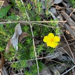 Hibbertia sp. (A Guinea Flower) at Flea Bog Flat, Bruce - 17 Oct 2020 by JVR