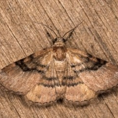 Aporoctena sp. (genus) (A Geometrid moth) at Melba, ACT - 13 Oct 2020 by kasiaaus