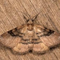 Aporoctena sp. (genus) (A Geometrid moth) at Melba, ACT - 13 Oct 2020 by kasiaaus